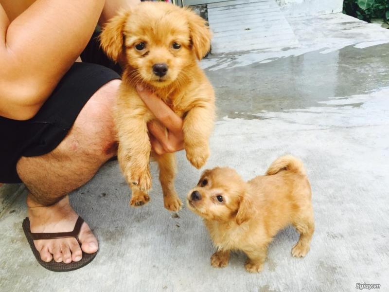 Chó Phốc lai