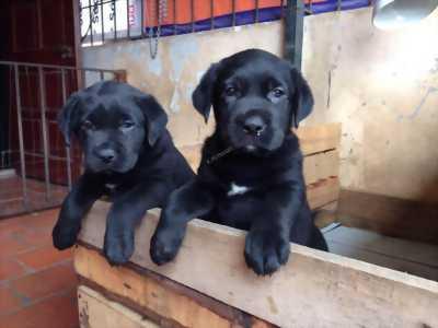 Mình cần bán Chó Labrador đực 5 tháng