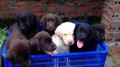 Tìm chủ cho chú Labrador màu socola 5 tháng tuổi