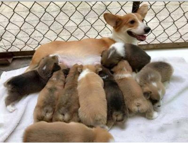 Chuyên bán và phối giống chó pug, husky, corgi, chó poodle