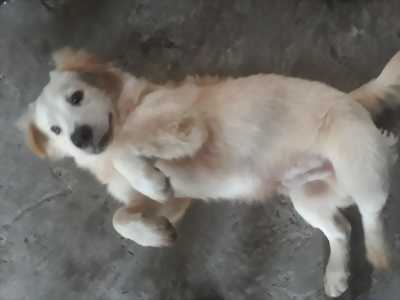 Bán chó lai phôc màu trắng