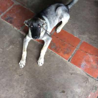 Chó becgie lai 17kg