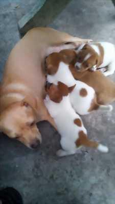 Bán chó Chihuahua lai phốc màu hiếm
