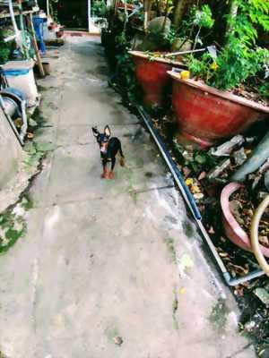 Bán chó Phốc hươu cái tơ 8 tháng tuổi