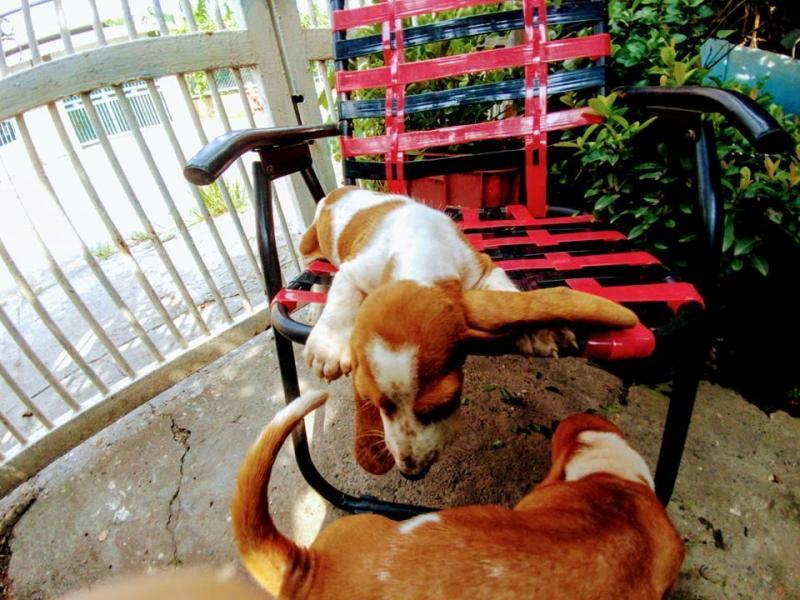 Chó Basset Hound, chó săn chân lùn của Pháp