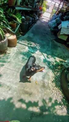 Phốc hươu cái trưởng thành màu đen vàng tại Hóc Môn