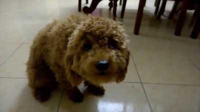 Gã bầy chả chó poodle