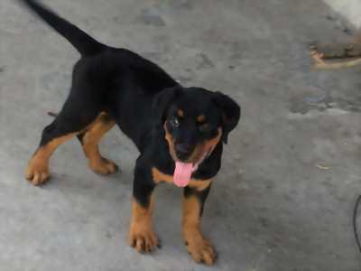 Rottweiler cái 2 lứa 16 tháng tuổi