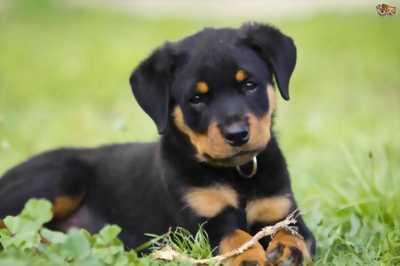 Cần bán chó lai nhật