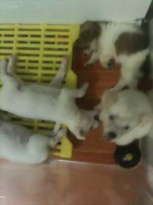 Chó Con Nhật,Phốc,Chihuahua