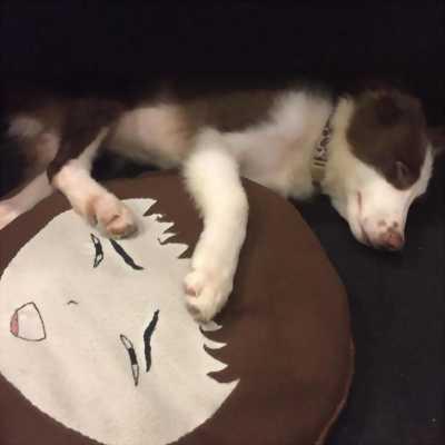 Bán chó Border Collie gần 4 tháng tuổi đã huấn luyện