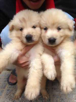 Cần bán 3 chó con Samoyed giống đực 1 tháng tuổi