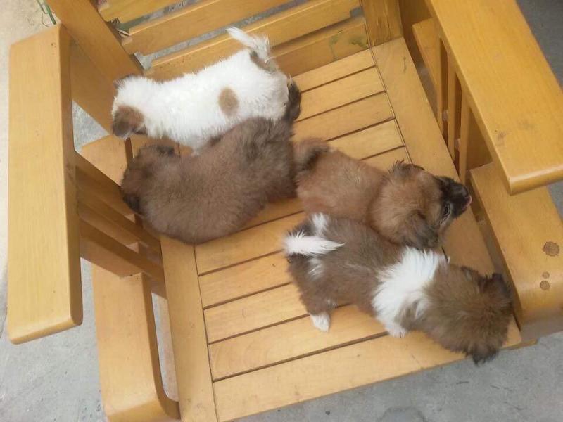 Cần bán chó bầy gấu lai nhật gần 2 tháng