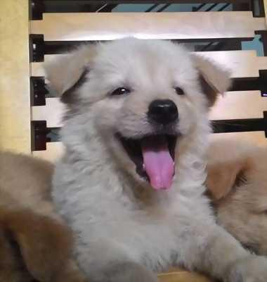 Chó Gấu Bắc Hà