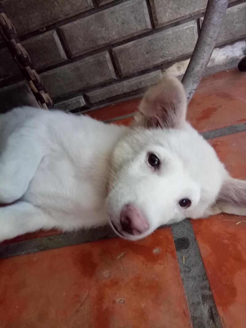 Bán 2 bé cún