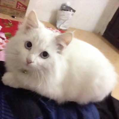 Cần bán mèo ald màu trắng