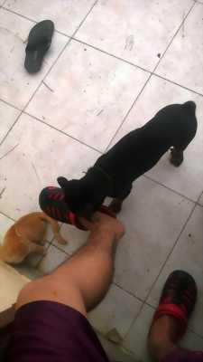 Chó rottweiler lai chân tay to khoẻ