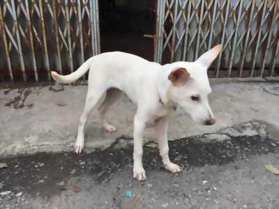 Chó lai Nhật đực khỏe mạnh,7 tháng tuổi tại Hà Nội