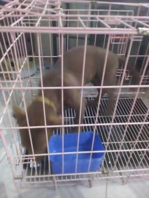 Bán cún tai dài
