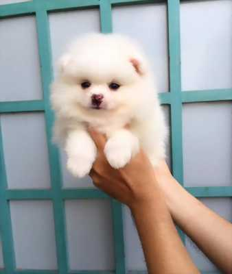 Cần bán 1 em  Giống chó Phóc Sóc ( Pomeranian)