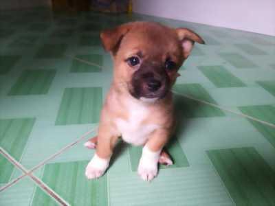 Tìm chủ mới cho chó 1 tháng tuổi