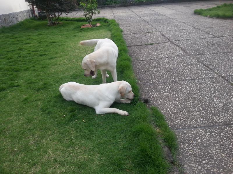 Cặp chó Labrador thuần chủng 16 tháng tuổi