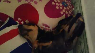 Chó lạp xưởng (dachshund) giống cái