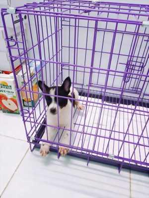 Chó con Nhật lai fox sóc