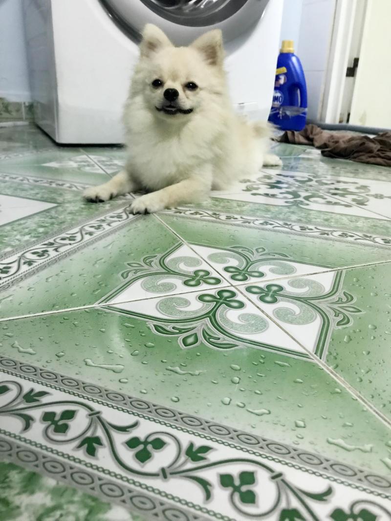 Chó phốc sốc mặt cáo