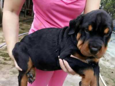 Cần tìm chủ mới cho bé rottweiler 4.5 tháng tuổi