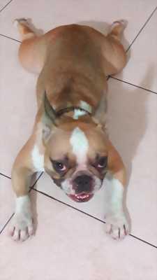 Chó bullyy