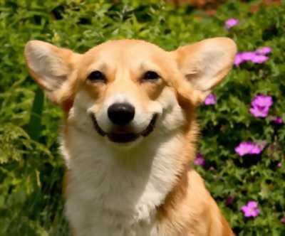 Bán chó corgi