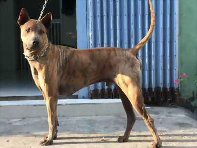 Chó phú quốc thuần chủng 75 ngày tuổi 5-6kg
