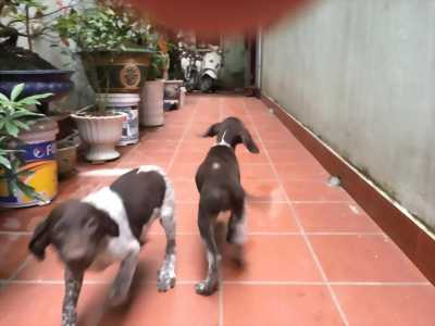 Bán chó săn lông ngắn của đức,1 đực 1 cái, 4 tháng tuổi