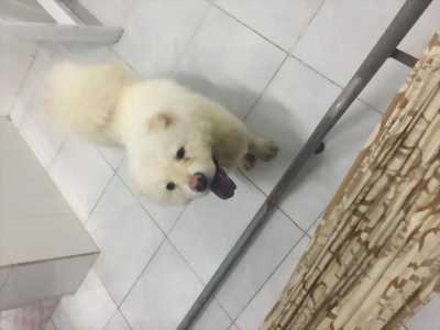 Cần bán chó