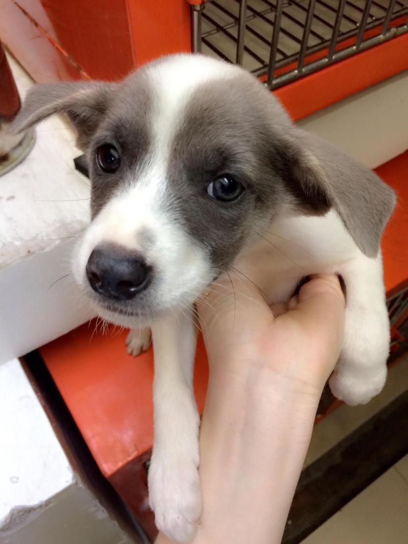 Cần bán gấp đàn chó Pull lai Nhật