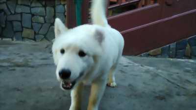 Chó samoyed 4,5 tháng