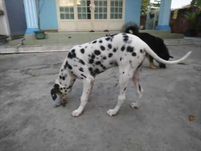 Bán 1 chó đốm đực 6 tháng tuổi