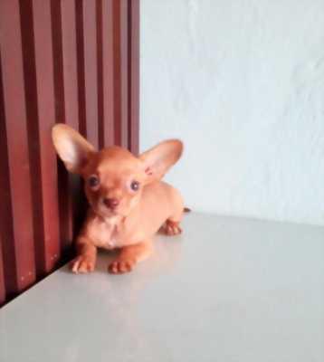 Chihuahua đực 2 tháng tuổi