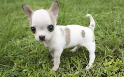 Chihuahua nhà đẻ
