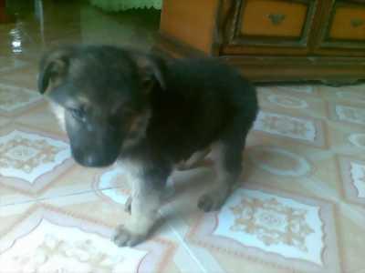 Chó con 2 tháng tuổi,ăn uống khoẻ,giống cái,nặng 2