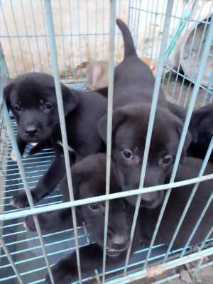 Thanh lý nốt mấy em chó nghiệp vụ Labrado thuần chủng