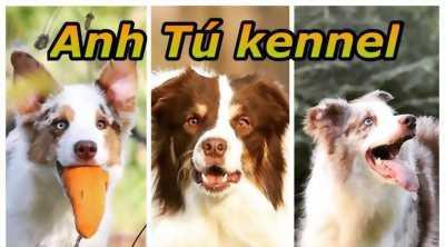 Bán chó border collie thông minh nhất thế giới