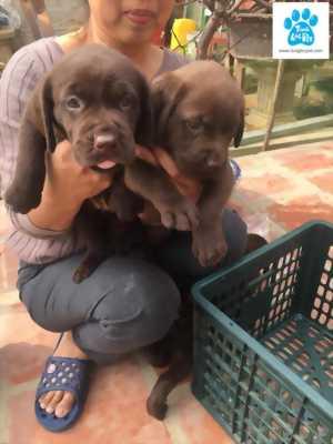Bán đàn chó Labrador Retriever 3/2018