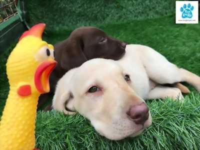 Chào bán đàn chó Labrador Retriever cuối tháng 3/2018