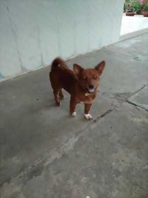 Bán chó Nhật lai