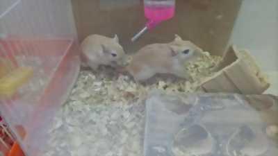Cần bán 2 em chuột lông vàng đuôi dài