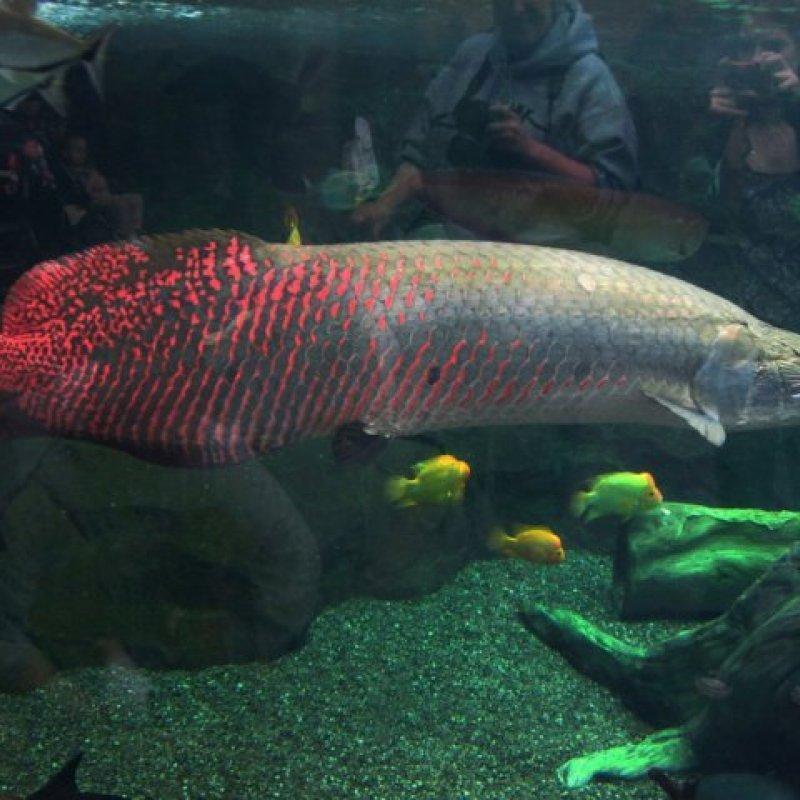 Bán cặp cá phúc lộc thọ dài 1m