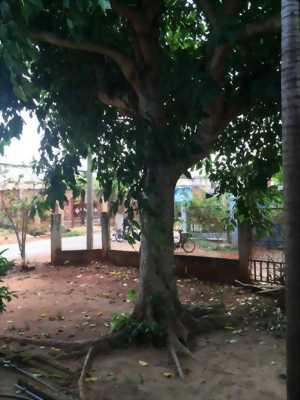Bán cây Sung ( đường kính 80 cm, cao 6m)