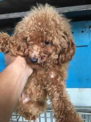 Cần bán chó Tiny Poodle, giống siêu cúp